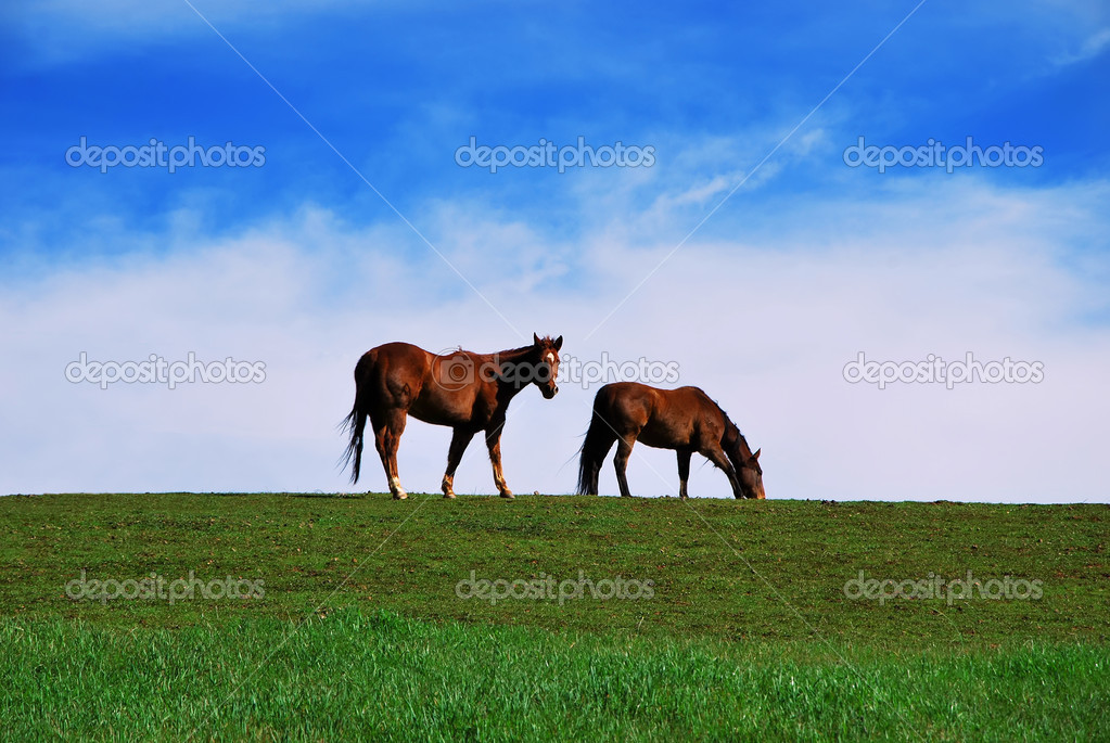 Two brown horses grazing on pasture