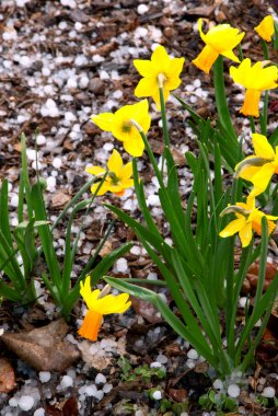 Spring yelllow daffodil narcissus under hail