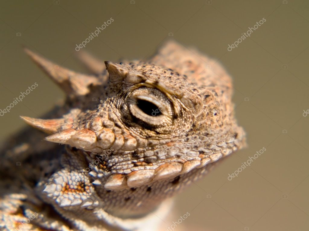 Great Horny Toad