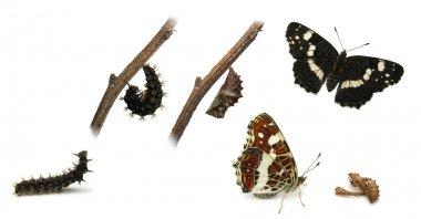 The Map (Araschnia levana) butterfly metamorphosis