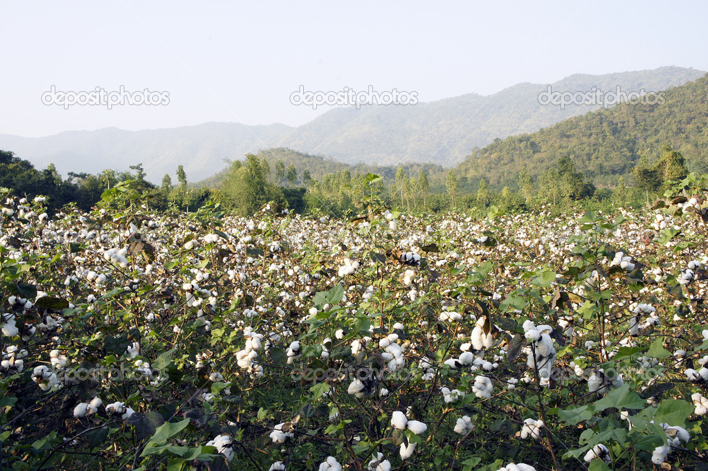Cotton in farm
