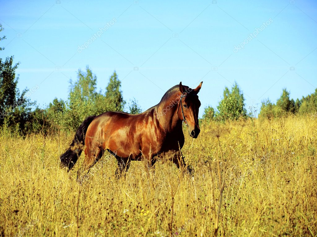 Running bay horse on yellow meadow