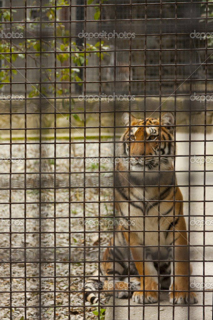 Tiger in a cage stock photo annata78 4562625 - Tiger in cage images ...