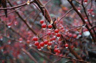 Rain-dripping red berries