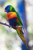 Fotografia Lorichetto arcobaleno
