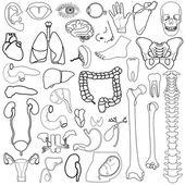 vnitřní orgány, vektorové ilustrace, eps10