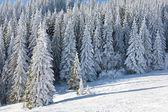 Winter-Tannen