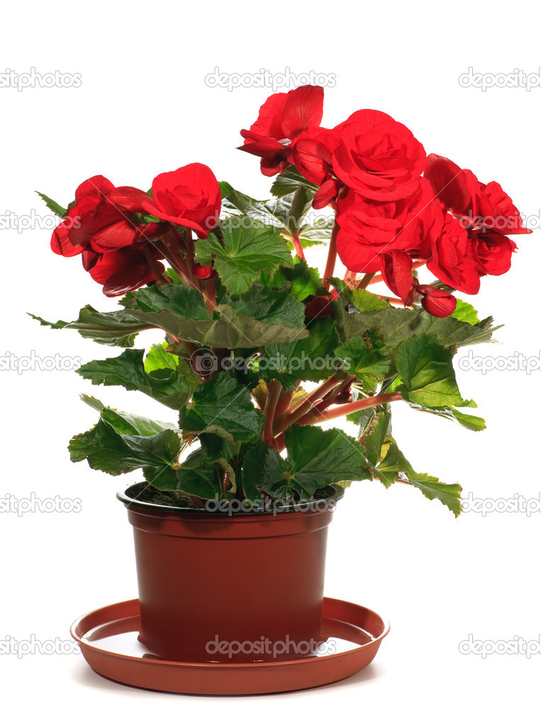 Home plant begonia on white background