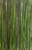 Vysoký kmen zelené bambusové rostliny Listoklasec viridi glaucesens (přírodní pozadí)