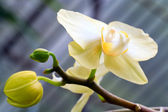 Fotografie Orchid flower