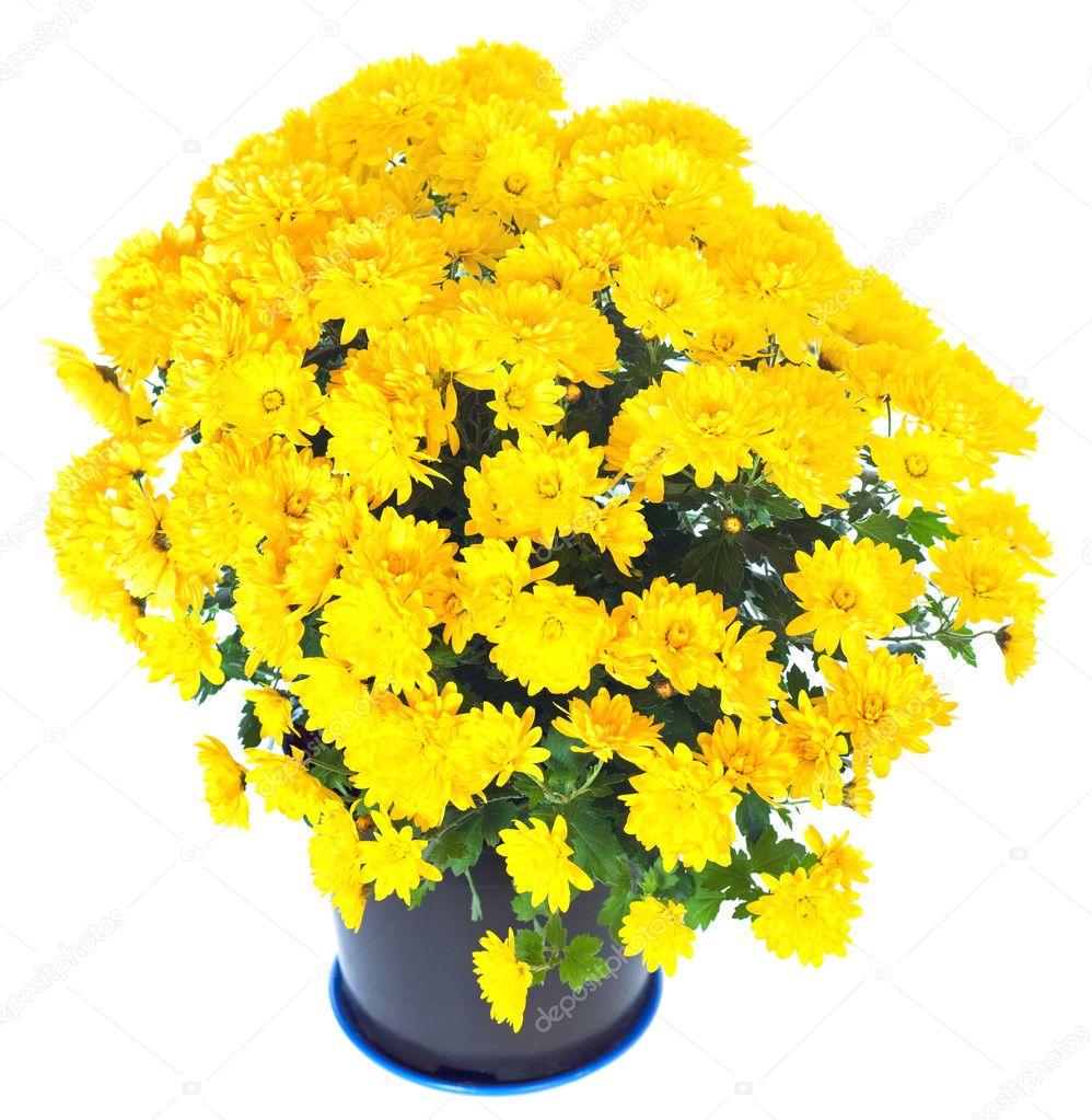 chrysanth me jaune en pot de fleurs isol e photographie wildman 5038938. Black Bedroom Furniture Sets. Home Design Ideas