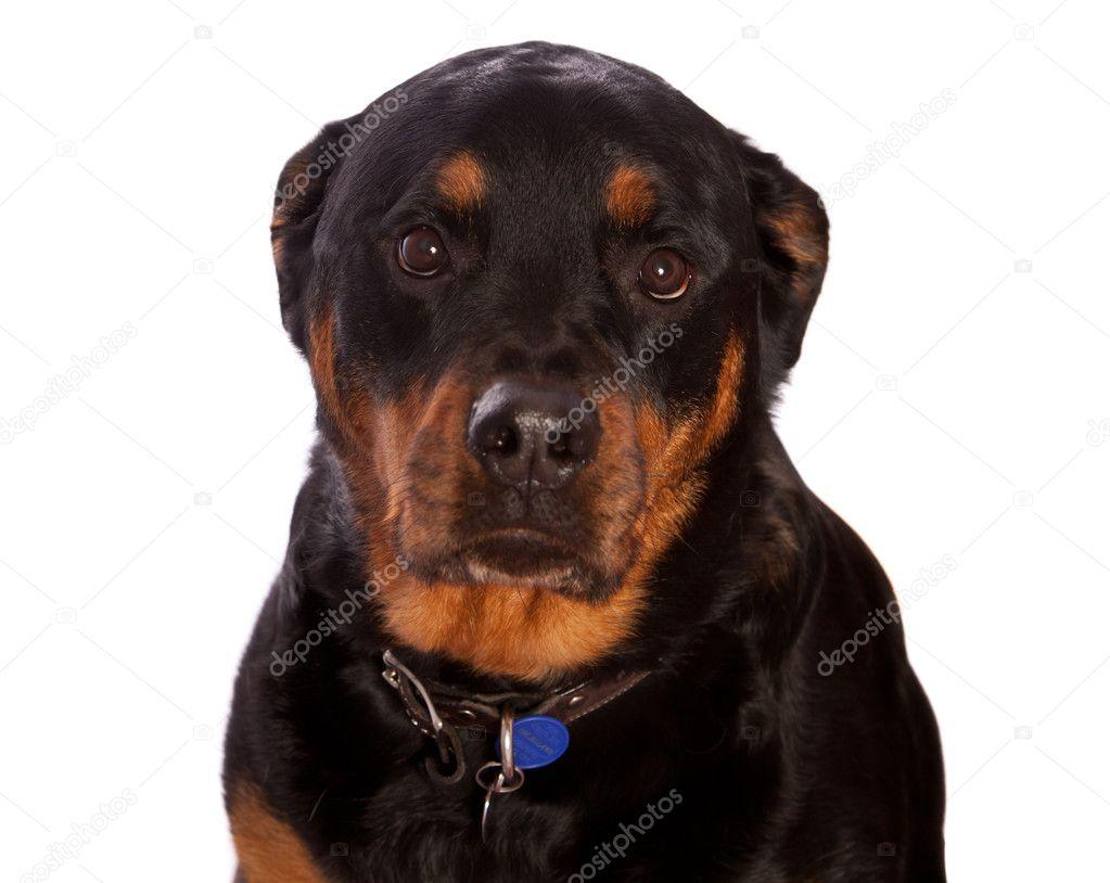 Sad puppy eyes, Isolated Female Rottweiler