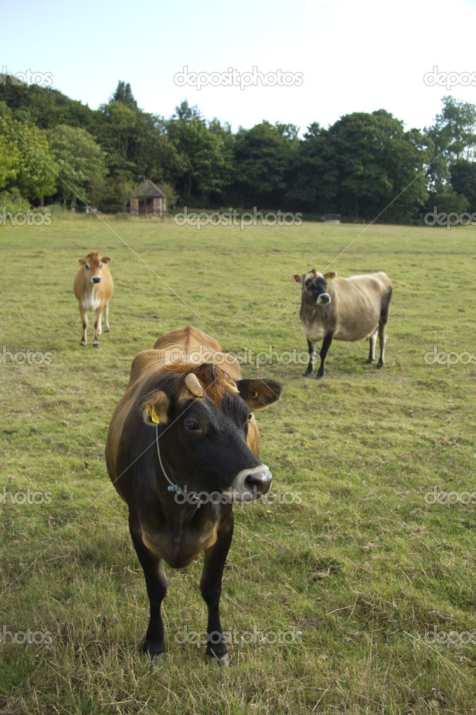 5cbd89673ed63 Trois des célèbres vaches dans les îles anglo-normandes - ils peuvent être  n'importe quoi de la familière brun clair à presque noir — Image de MarkB