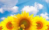 Slunečnice na šířku