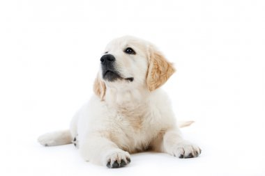 Cute golden retriever puppy lying