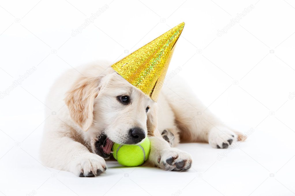 Golden Retriever Puppy With Tennis Ball And Hat Stock Photo