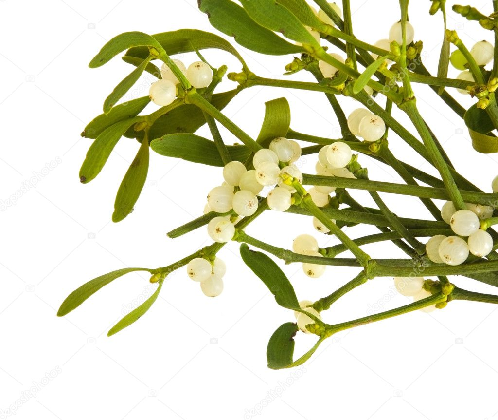 Viscum album (European Mistletoe; Common Mistletoe) bunch with berries; iso