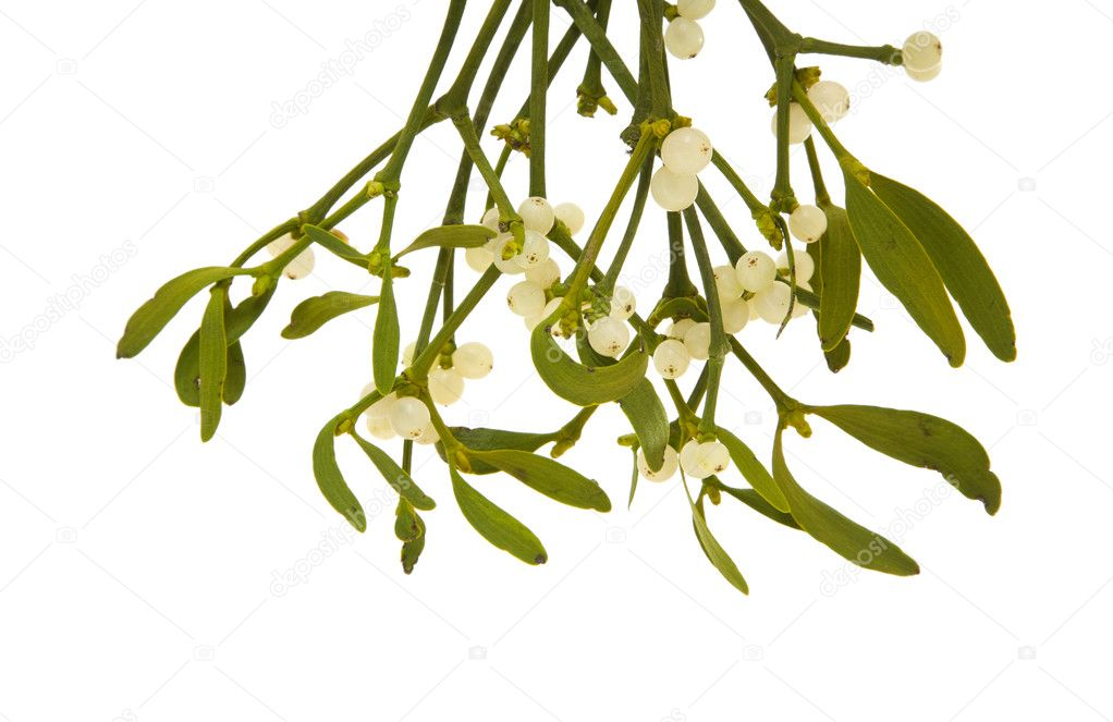 Viscum album (European Mistletoe , Common Mistletoe) hanging bunch with ber
