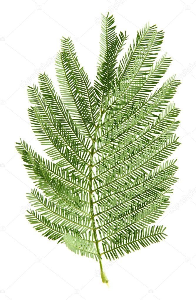 Mimosa leaf isolated on white background — Stock Photo © Tamara_k #4551033