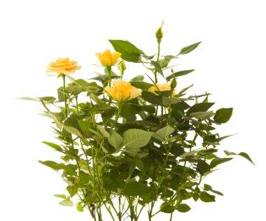 Yellow mini rose bush, isolated on white background