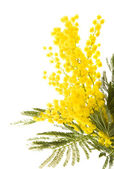 Fotografie Small branch of mimosa plant with round fluffy yellow flowers;
