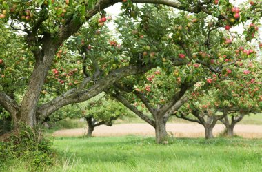 Apple orchard background