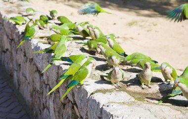 Group of feral Monk Parakeets, (Quaker Parrot, Myiopsitta monachus) feeding