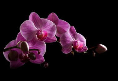 Pink stripy backlit phalaenopsis orchid isolated on black, horizontal compo