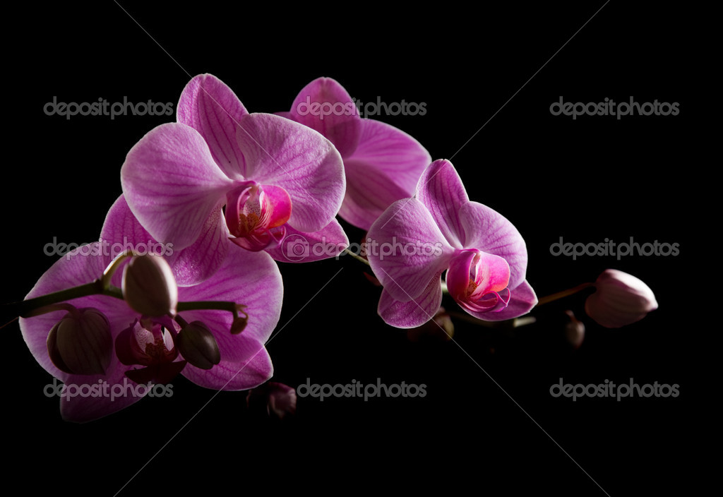 Pink stripy backlit phalaenopsis orchid isolated on black, horizontal compo
