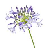 Africká lilie; Agapanthus africanus; samostatný