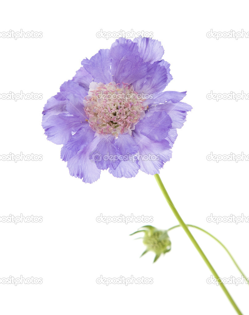 Lilac Garden Scabiosa Pincushion Flower Isolated On White Stock