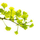 Ginkgo biloba branch with young leaves, isolated on white