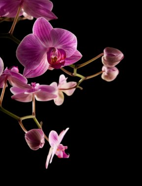 Pink stripy backlit phalaenopsis orchid isolated on black,