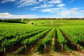 Fotografie jeden strom hill vineyard