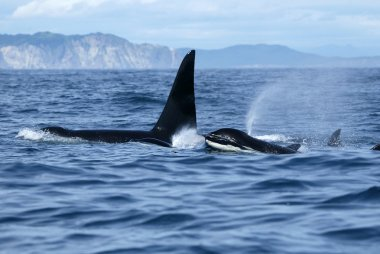 Group of killer whales in the wild