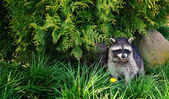 Photo Raccoon in forest
