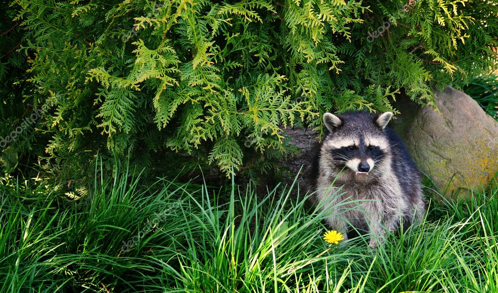 Raccoon in forest