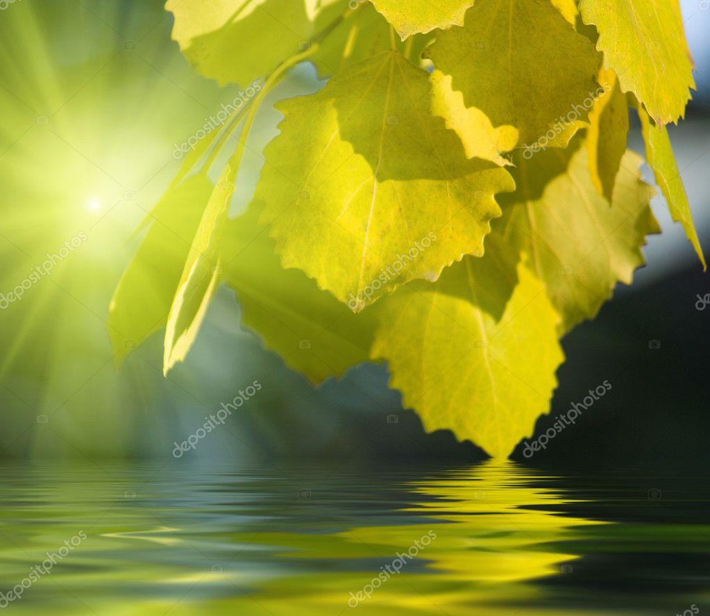 Leaves of aspen