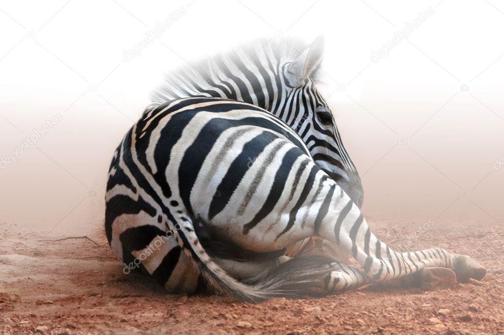 Zebra sitting on acres of land in fog white.Africa