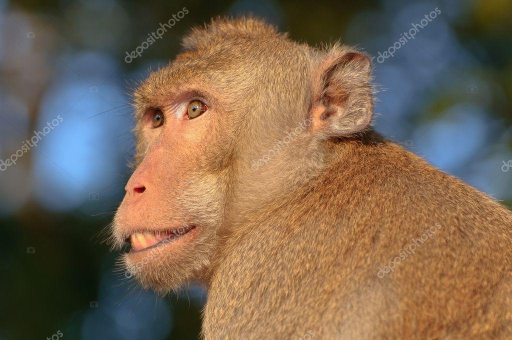 Tatlı Maymun Yüzlerini Stok Foto Tingyaso 4551182