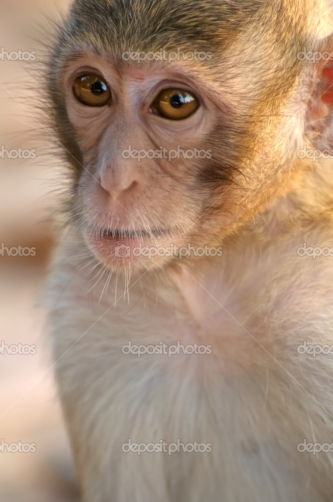 Tatlı Maymun Yüzlerini Stok Foto Tingyaso 4602380