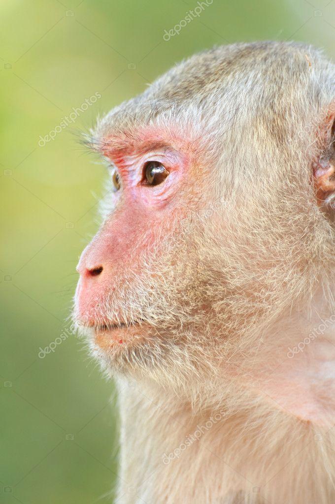 Tatlı Maymun Yüzlerini Stok Foto Tingyaso 4602393