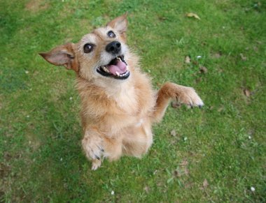 Dog standing on hind legs with big grin