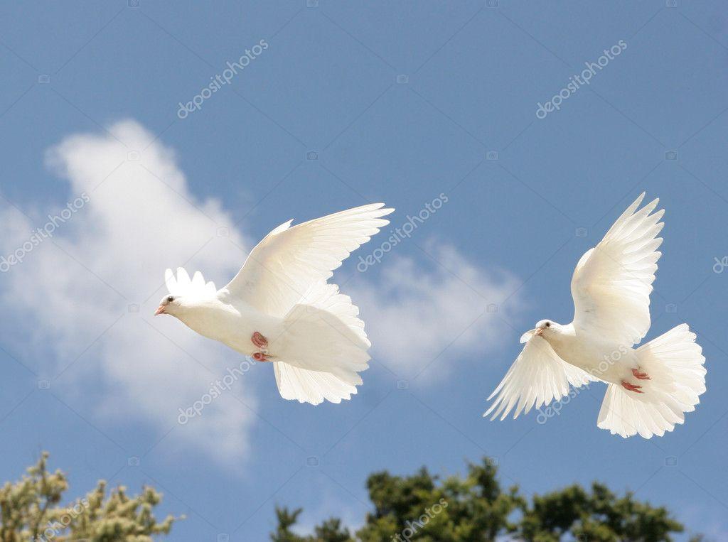 Palomas Blancas En Vuelo Fotos De Stock Suemack 4582857