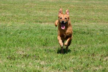 Happy senior dog running