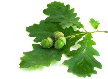 Oak branch with acorns