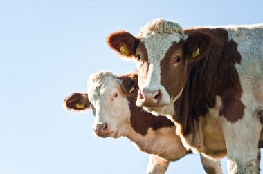 Two Nosy Cows looking at Camera, with Copyspace