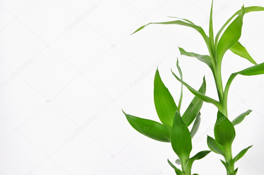 Nature lucky bamboo