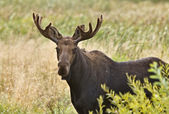 Bull moose zblízka