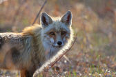 Red fox dospělý na ostrově hecla v Manitobě